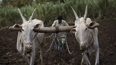 India's sugarcane farmers: A cycle of debt and suicide