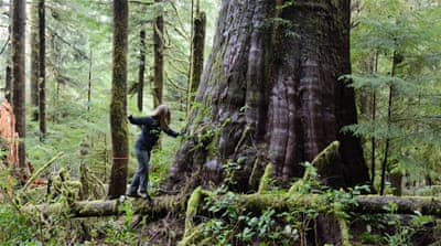 Fighting to save the last of Canada's giant trees