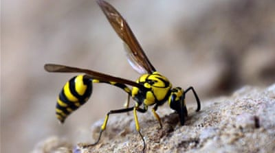 Sri Lanka clears thousands of wasps ahead of Modi visit