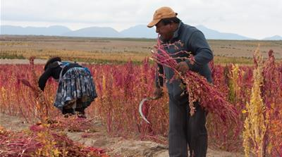 Quinoa: Harvesting Bolivia's 'superfood'