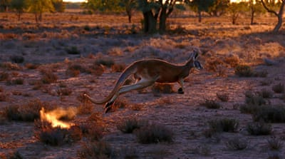 Kangaroo attack in Australia nearly turns deadly