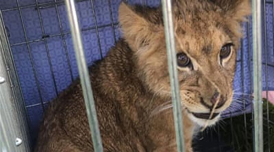 Jogger finds abandoned lion cub in Netherlands