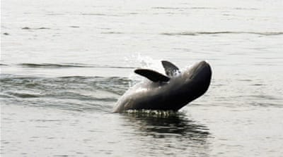 The last 92 Irrawaddy dolphins in Mekong River may not survive