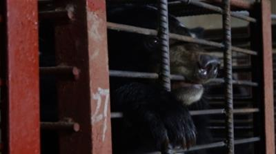 tiger bones and bear bile selects  [Al Jazeera]