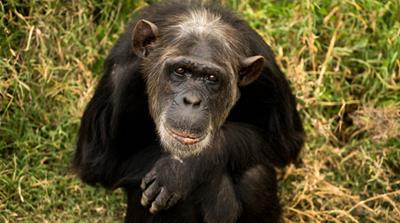 Kenya's Sweetwaters sanctuary: Chimpanzees without borders