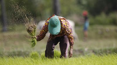 Cambodia exported 345,000 tonnes of rice in 2016, up from 8,000 tonnes in 2009 [File: Heng Sinith/AP]
