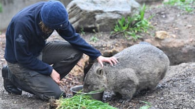 Australian policeman under investigation for stoning wombat