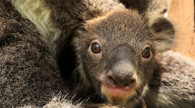 Melbourne Zoo welcomes first baby koala in eight years