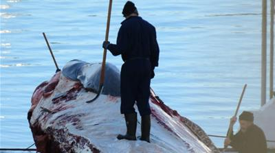 Killing whales in Icelandic waters [screengrab/A Jazeera]
