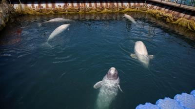 Russia agrees to free nearly 100 captive whales after outcry