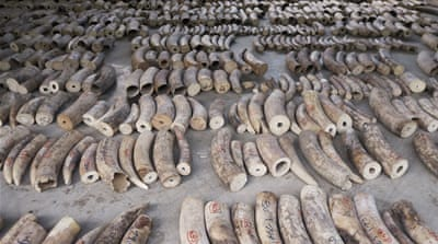 Singapore seizes pangolin scales, ivory worth over $48m