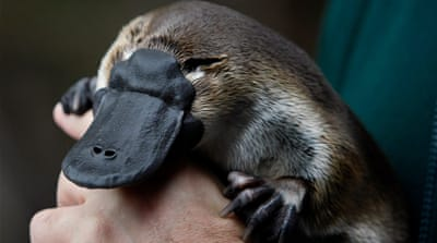 Australia's platypus under threat from climate change