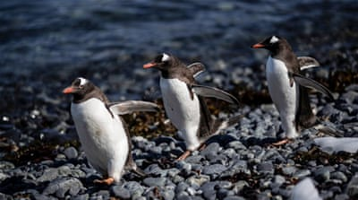 In Pictures: Chinstrap penguin population declines in Antarctica