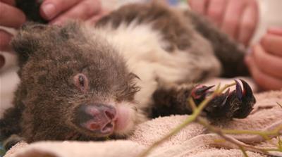 Australia's Wildlife Emergency