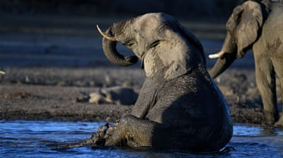 Botswana auctions elephant hunting licenses after lifting ban