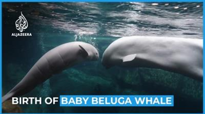 Moment beluga whale gives birth at Georgia Aquarium  [Daylife]