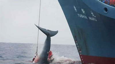 Japan begins Antarctic whale hunt