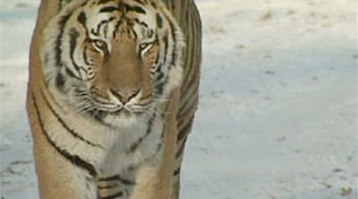 China's tigers pushed to the brink