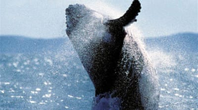 Japan whalers 'breaching protocol'