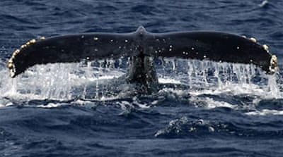 Japan 'may quit' world whaling body