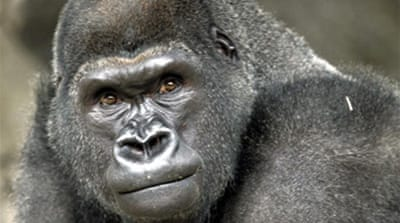 DR Congo gorillas under threat