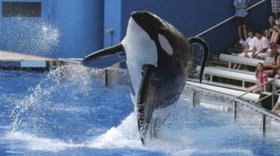 Tilikum, a killer whale at SeaWorld amusement park, has been involved in the deaths of three people [Reuters]