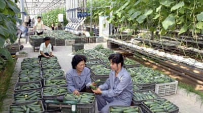 Employees of North Korea's greenhouse vegetable research institute harvesting cucumbers in Pyongyang [EPA]