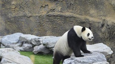 To celebrate 40 years of positive relations, China gave Malaysia two giant pandas [AFP]