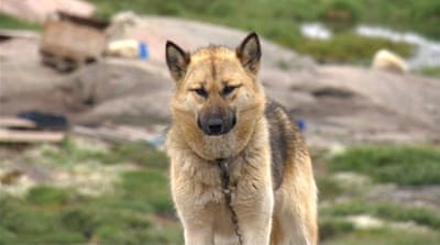 Climate change threatens Greenland's sled dog culture