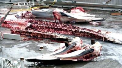 Calls in Iceland to ban commercial hunting of whales