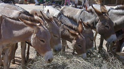 The donkey could become an endangered species in Nigeria