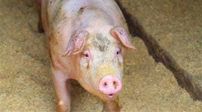 Fears African swine fever in North Korea could spread to South