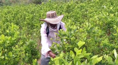 Colombian police fight against coca farming