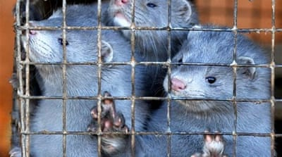 Dutch minks culled after farmers infected with coronavirus