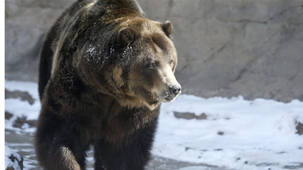 Killing Canada's grizzly bears