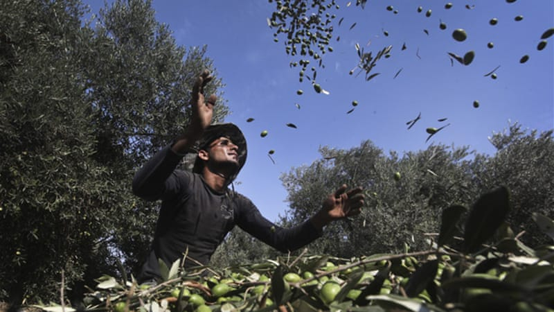 Farmers are in the midst of the crucial olive harvest and olive oil production season and the destruction is a disastrous blow for food and economic security in Gaza [EPA]