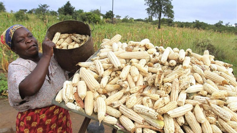 By 2050, climate change could cause havoc - in Africa, many farmers of maize, which is not that well suited to increased temperatures, could lose 10 to 20 per cent of their yields [Reuters]