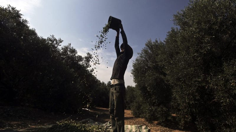 Olive farmers hard-pressed by Israel's wall | | Al Jazeera