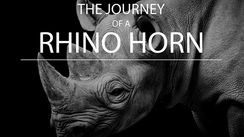 Infographic: The journey of a rhino horn