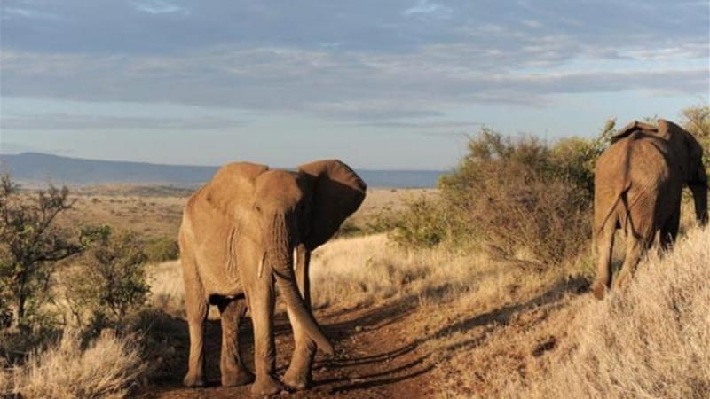 An estimated 25,000 elephants were poached across the African continent in 2011 alone [AFP]