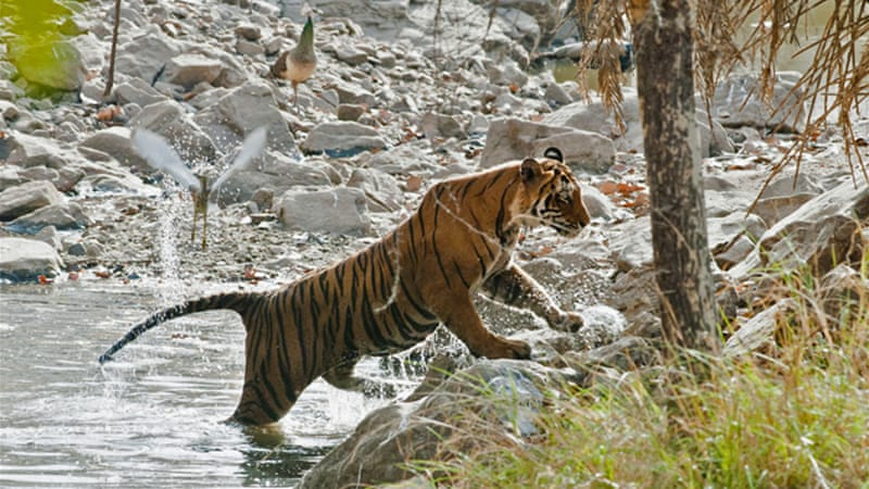 Thousands of tigers once roamed the forests in Bangladesh, India and Nepal [Flickr: Allan Hopkins]