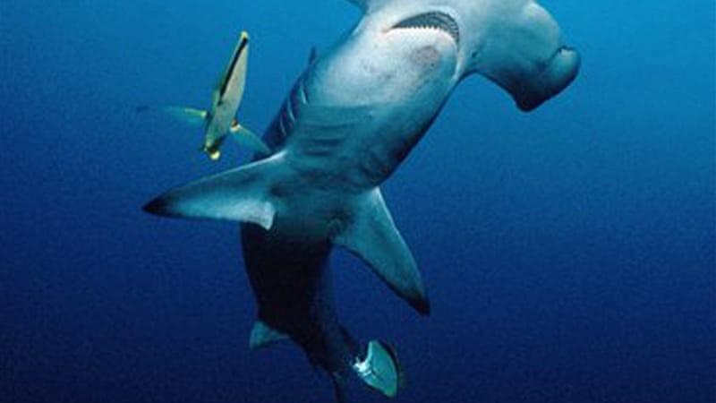 Three types of hammerhead sharks were banned by the CITES conference in the Thai capital, Bangkok [AFP]