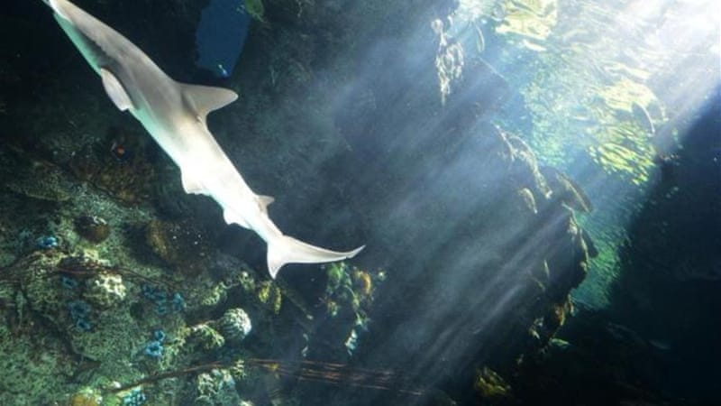 Manta ray gill plates are used in China for a soup believed to have special medicinal properties [Reuters]