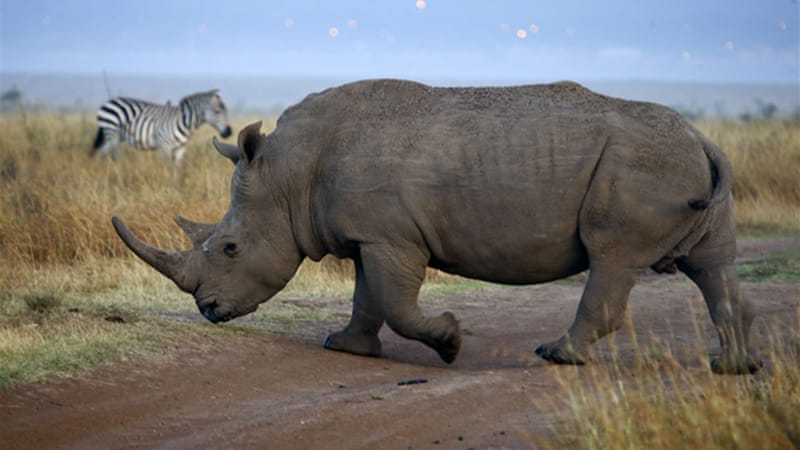 South Africa is struggling to stem the rampant poaching of rhinos [Reuters]