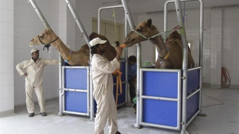 Signs of MERS-like viruses have been reported in other animals, including camels [AP]