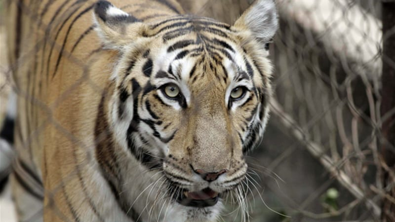 Many of India's tigers live in zoos and wildlife reserves, as the animals are classified as endangered [AP]