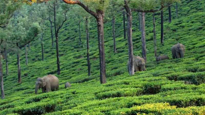 Herds of elephants have to navigate through tea bushes to get to their ...