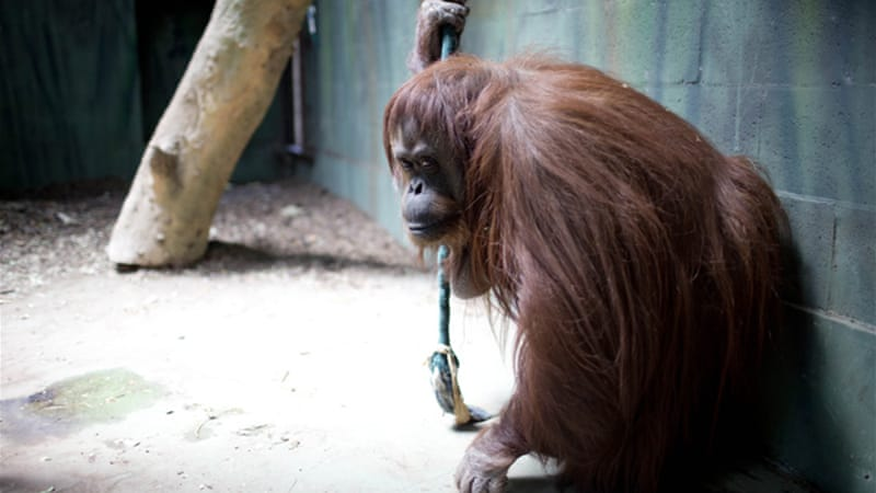 Sandra was born in Germany and has lived in captivity in Buenos Aires for most of her life [AP]