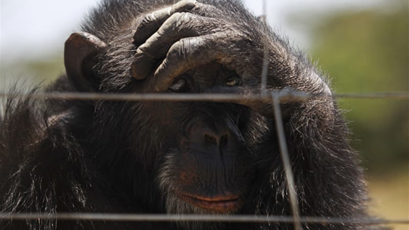 The court ruled chimpanzees can not understand the 'social contract' that binds humans together [EPA]