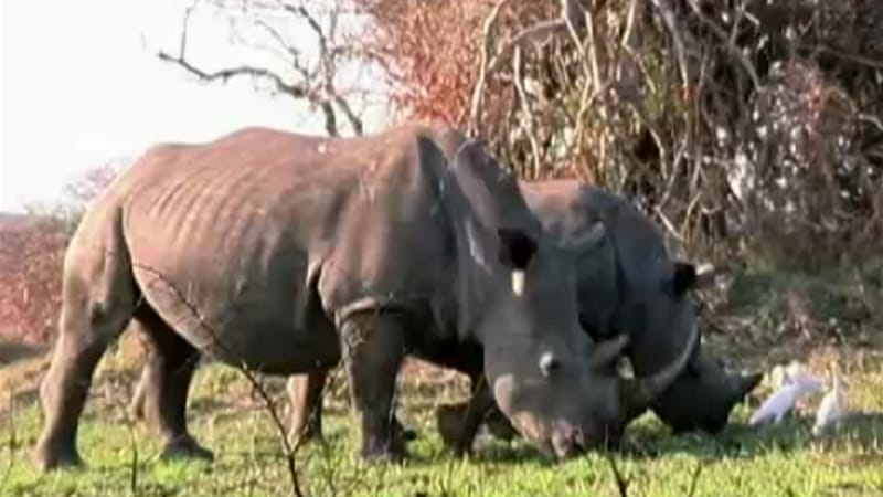 Poachers killed 370 rhinos in Kruger park this year  [Al Jazeera]